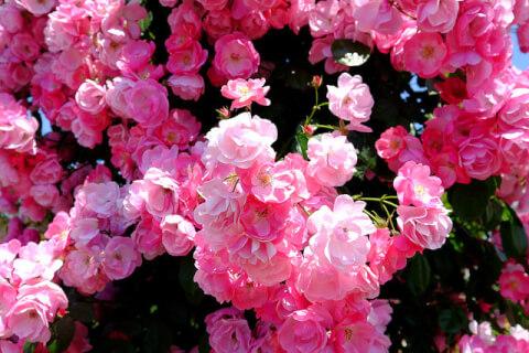 ハウステンボスのバラ