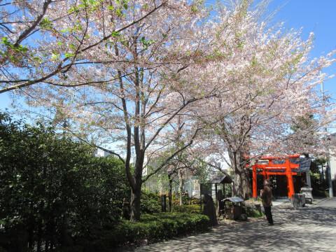 神楽坂 赤城神社 桜
