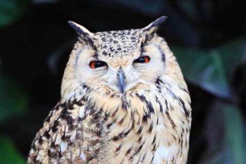 kachoen_owl