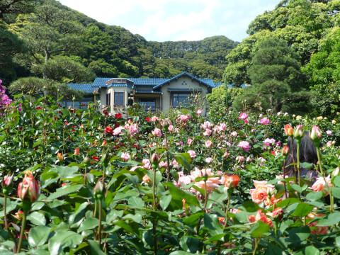 鎌倉文学館-バラ園