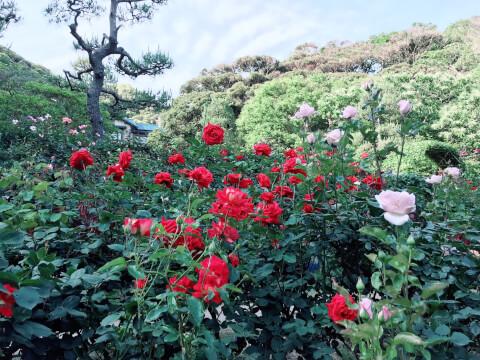 鎌倉文学館 バラ園