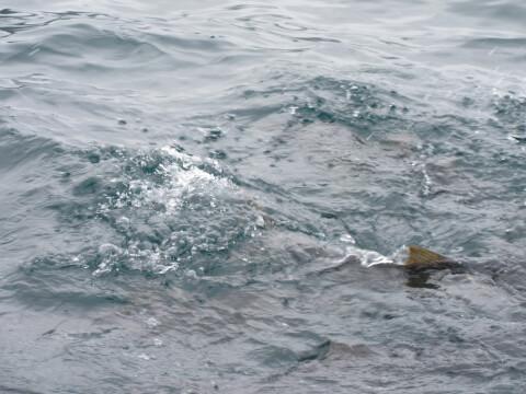 鯛の浦 鯛