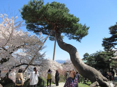 松の木 兼六園