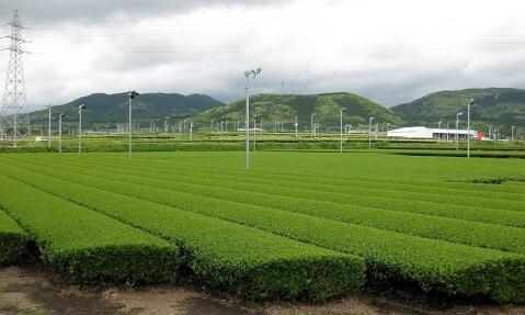 鹿児島観光茶畑