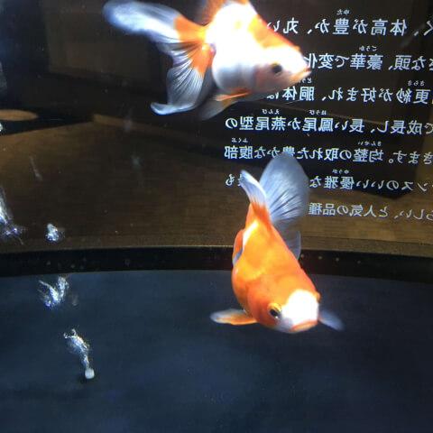 すみだ水族館 金魚