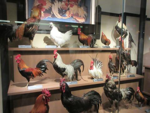 国立科学博物館 鶏