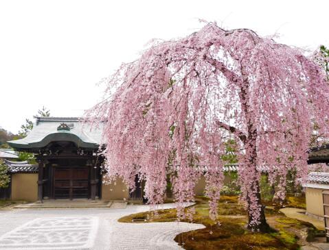 桜 高台寺 春