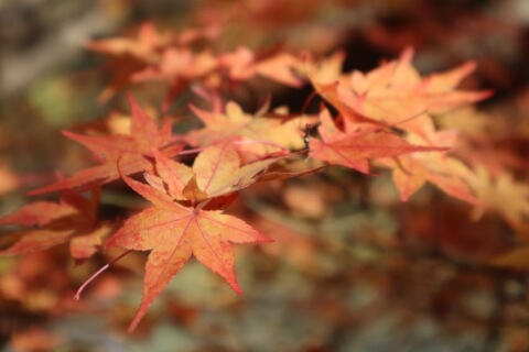 京都の紅葉の見頃