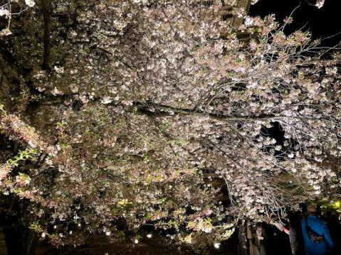 東寺の庭園内の夜桜
