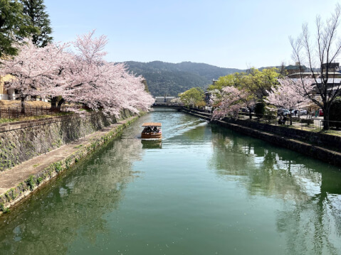 京都の桜の開花時期