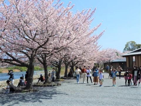 嵐山公園内の桜