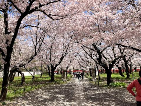 平野神社の入口付近の桜