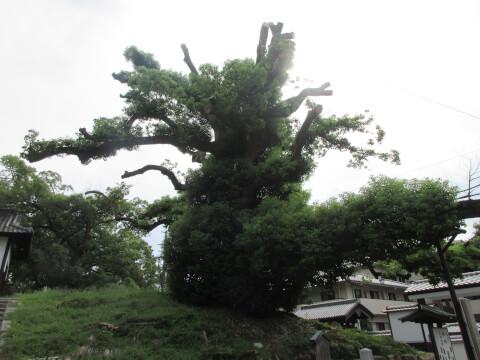 楠 天然記念物