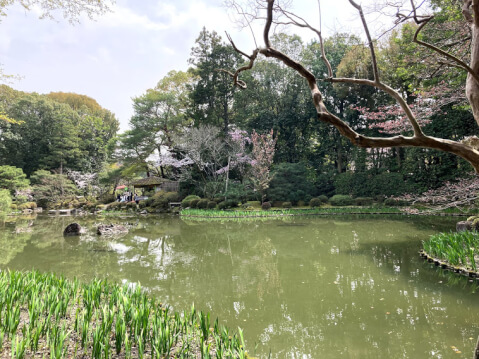 神苑内の桜
