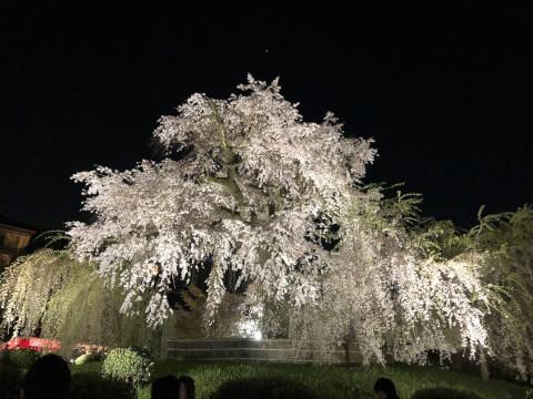 枝垂れ桜 円山公園