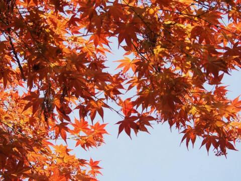 円山公園 紅葉