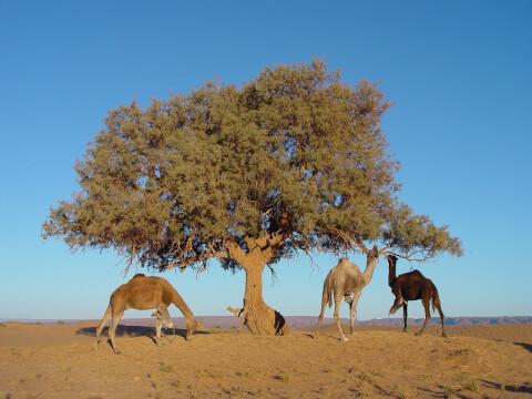 morocco_rakuda_tree