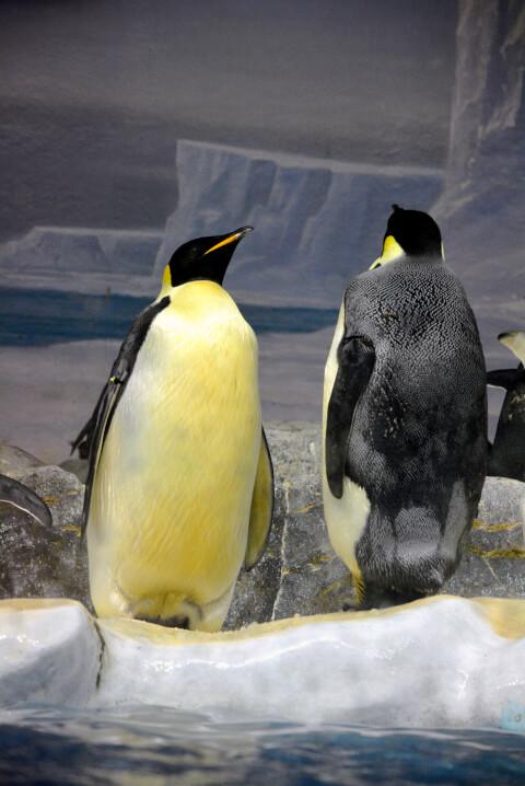 エンペラーペンギン2匹