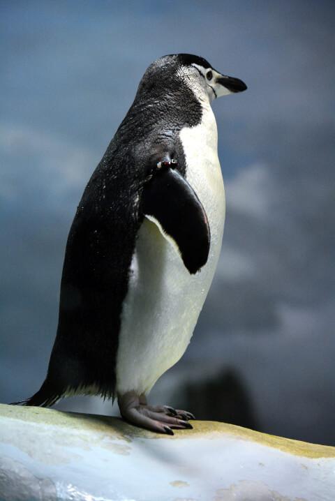 ヒゲペンギン1羽