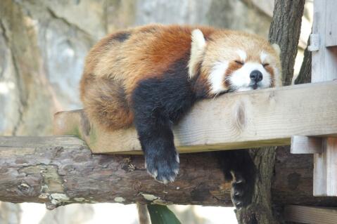 Noge-panda