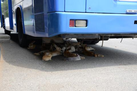 大久野島-車の下にいるうさぎ