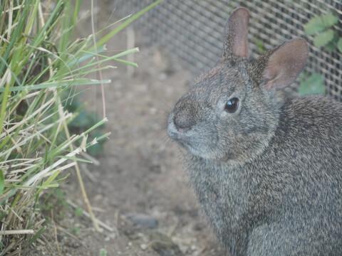メキシコウサギ