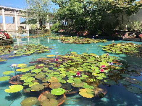 大睡蓮 モネの池 大塚国際美術館