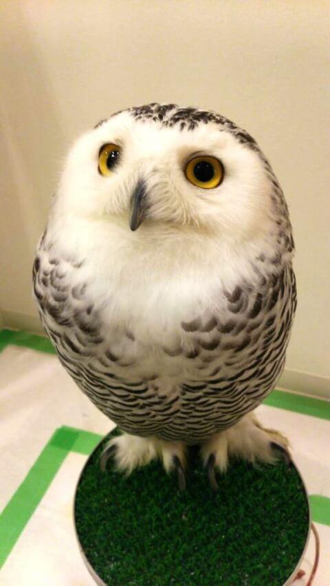owlshophakata