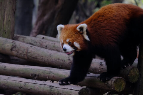 レッサーパンダ 成都 パンダ繁殖研究基地