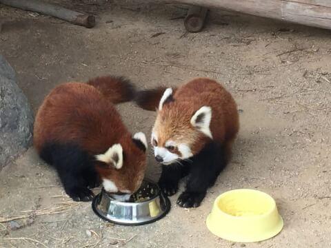 ressor_panda