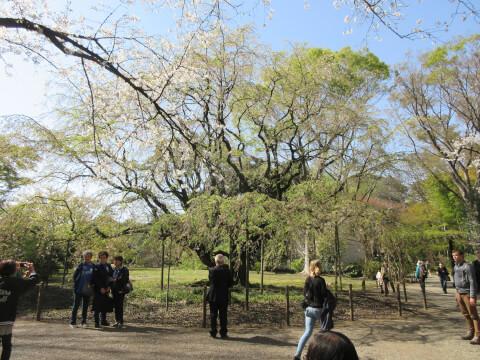 枝垂れ桜 六義園