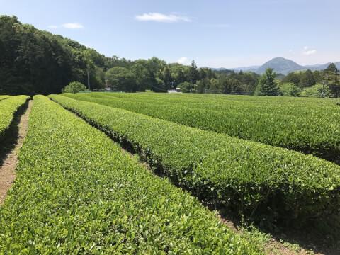 静岡 茶畑