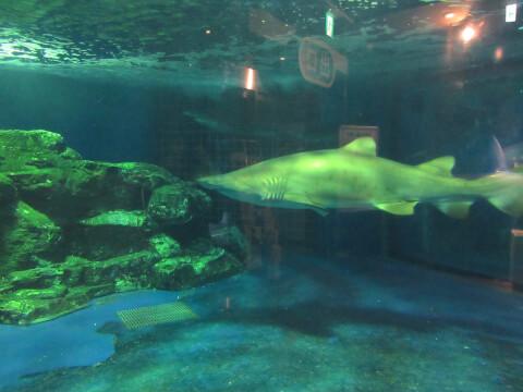 しながわ水族館 サメ