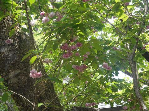 白川郷 おおた桜