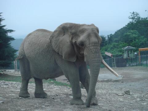 smatra_elephant
