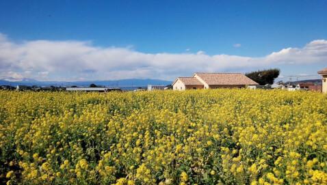 菜の花 ソレイユの丘