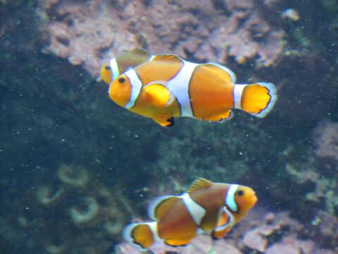 カクレクマノミ サンシャイン水族館
