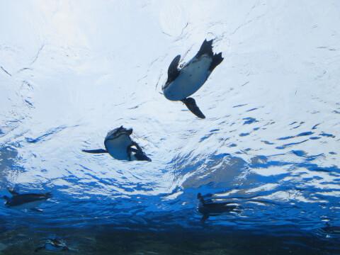 天空のペンギン お腹