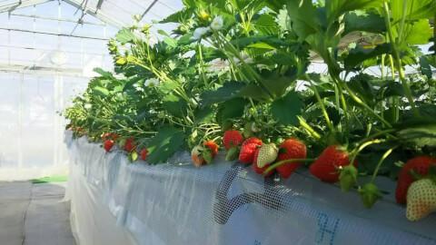 takadastrawberryfarm