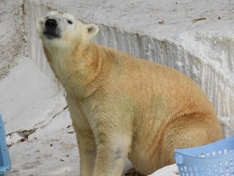 ホッキョクグマ 天王寺動物園