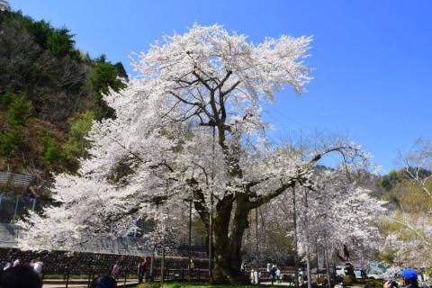 高山 荘川桜:じゃらん