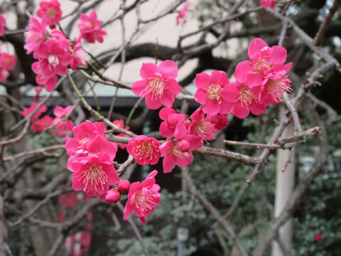 梅 とげぬき地蔵