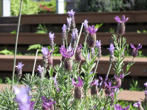 公園 紫花