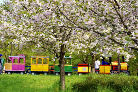 舎人公園 桜