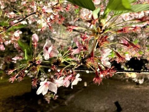東寺 ライトアップ 桜