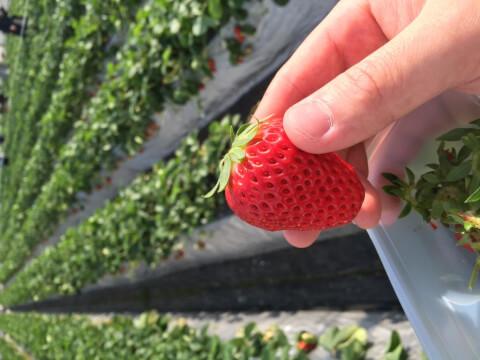 tukuihamastrawberry