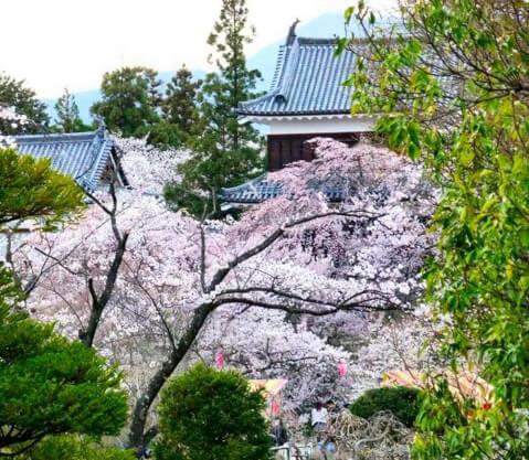 ueda-sakura