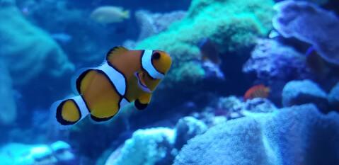 クマノミ サンゴ