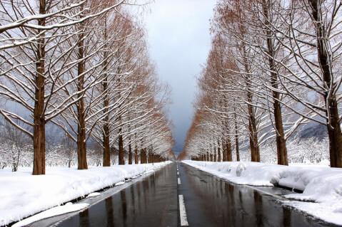 wintermetasequoia