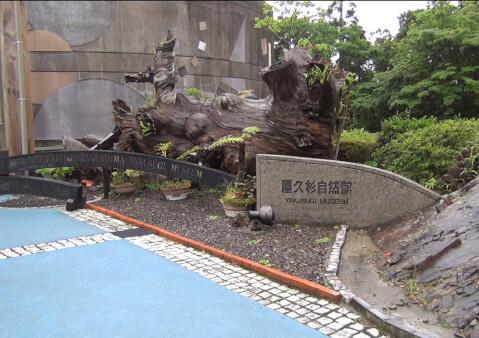 屋久島 屋久杉自然館